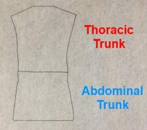 Fig. B Tracing of the two trunk areas.